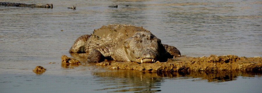 Alligator in River Chambal