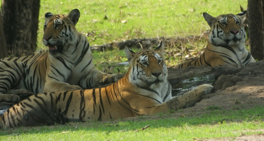 Collarwali with Cubs at Pench